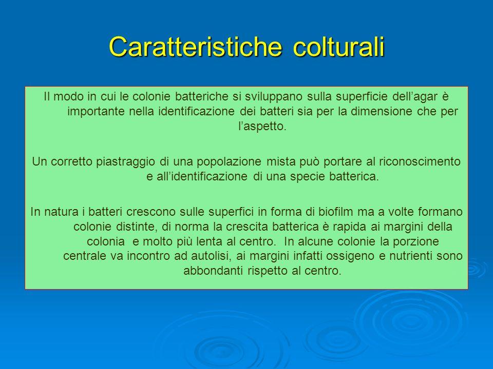 Caratteristiche colturali Il modo in cui le colonie batteriche si sviluppano sulla superficie dellagar è importante nella identificazione dei batteri
