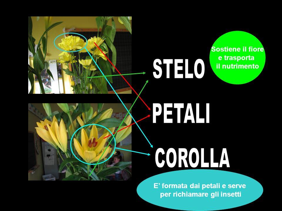 Sostiene il fiore e trasporta il nutrimento E formata dai petali e serve per richiamare gli insetti