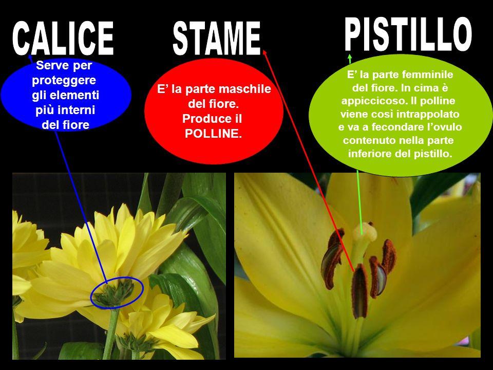 Serve per proteggere gli elementi più interni del fiore E la parte maschile del fiore. Produce il POLLINE. E la parte femminile del fiore. In cima è a