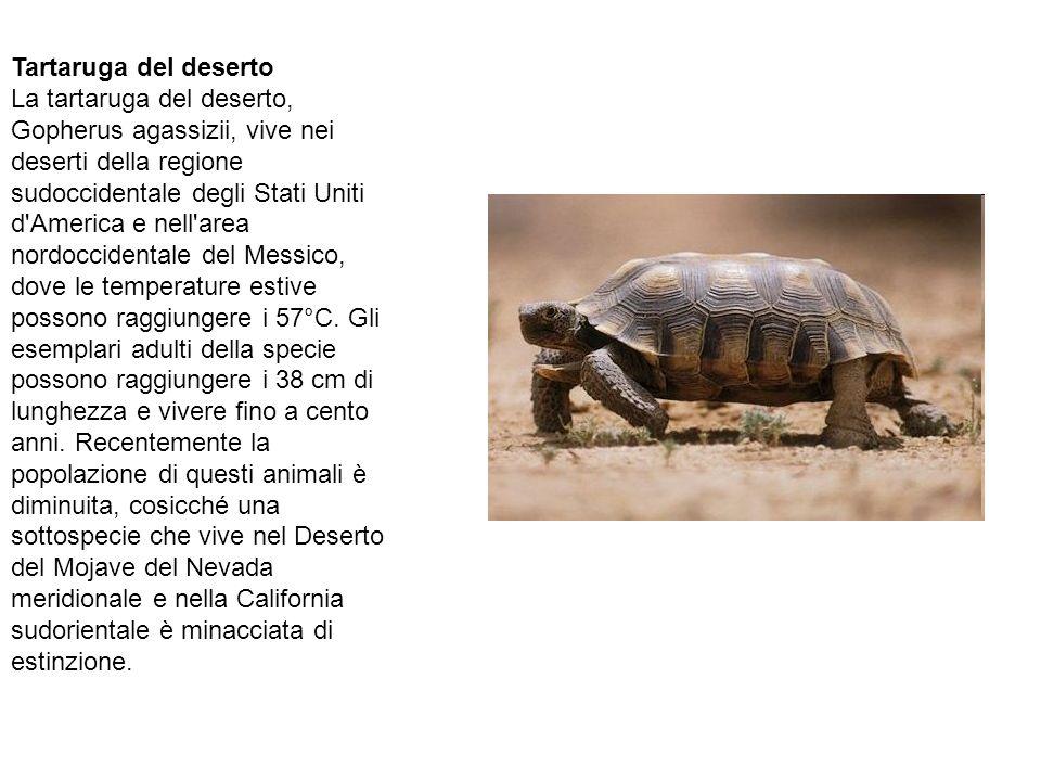 Tartaruga del deserto La tartaruga del deserto, Gopherus agassizii, vive nei deserti della regione sudoccidentale degli Stati Uniti d'America e nell'a