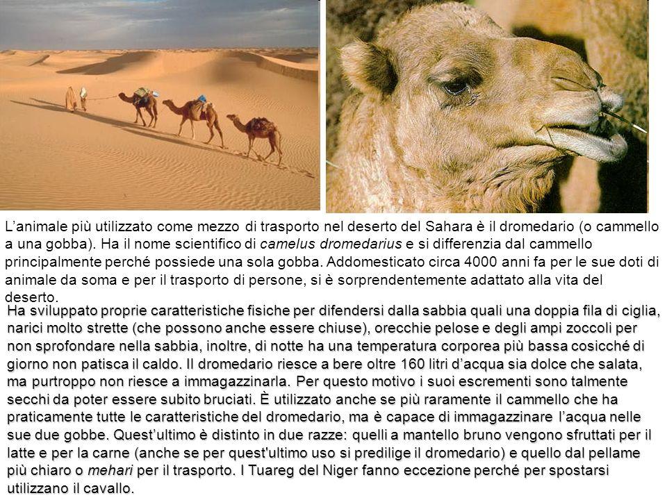 Lanimale più utilizzato come mezzo di trasporto nel deserto del Sahara è il dromedario (o cammello a una gobba). Ha il nome scientifico di camelus dro