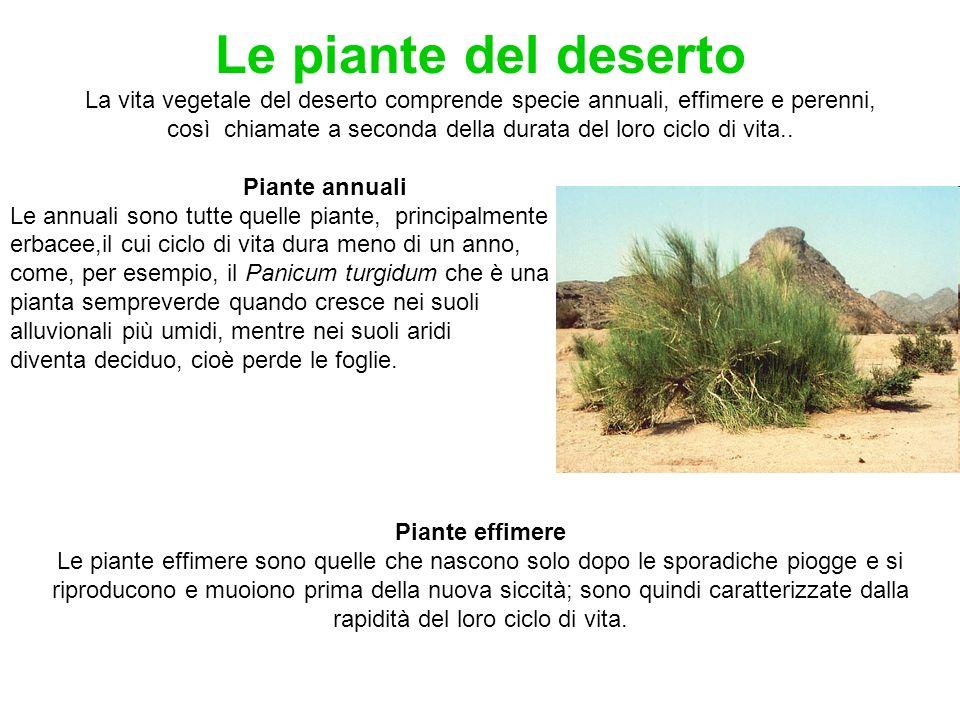 Le piante del deserto La vita vegetale del deserto comprende specie annuali, effimere e perenni, così chiamate a seconda della durata del loro ciclo d