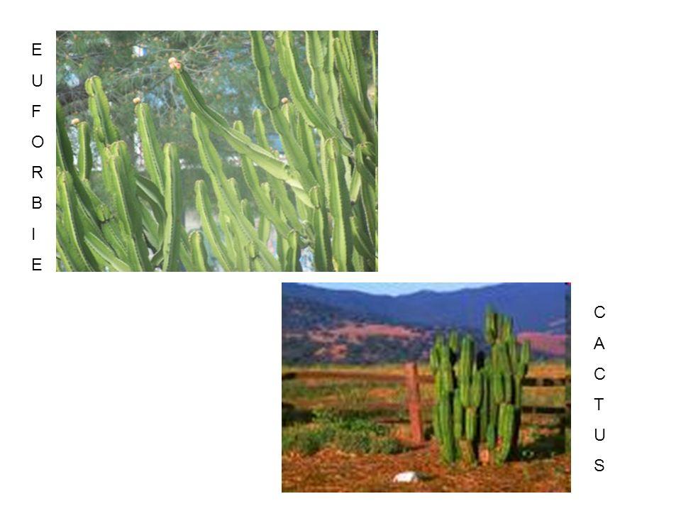 Questa pianta possiede un tronco piccolo e legnoso dal quale spuntano solo due foglie nastriformi che crescono in modo lento e continuo, strisciando sul terreno sabbioso.