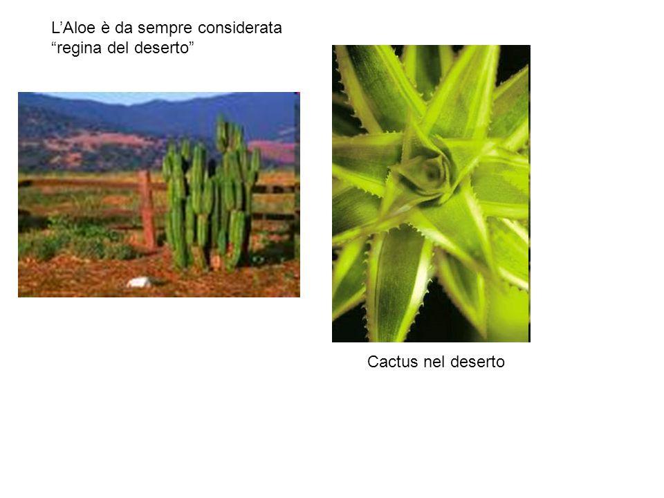 LAloe è da sempre considerata regina del deserto Cactus nel deserto