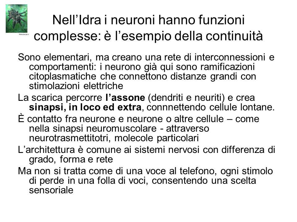 NellIdra i neuroni hanno funzioni complesse: è lesempio della continuità Sono elementari, ma creano una rete di interconnessioni e comportamenti: i ne