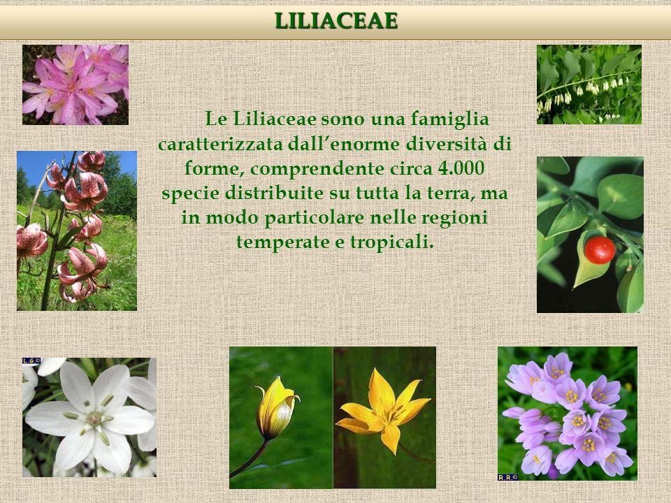 LILIACEAE Le Liliaceae sono una famiglia caratterizzata dallenorme diversità di forme, comprendente circa 4.000 specie distribuite su tutta la terra, ma in modo particolare nelle regioni temperate e tropicali.