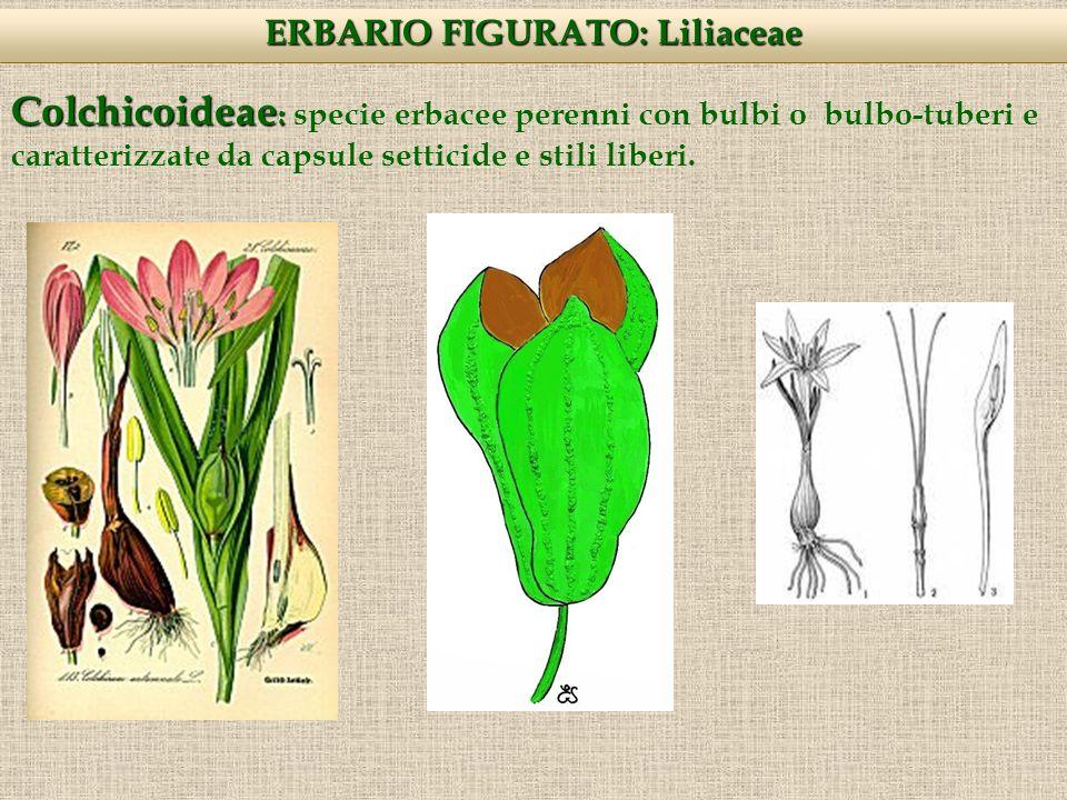 Colchicoideae : Colchicoideae : specie erbacee perenni con bulbi o bulbo-tuberi e caratterizzate da capsule setticide e stili liberi.