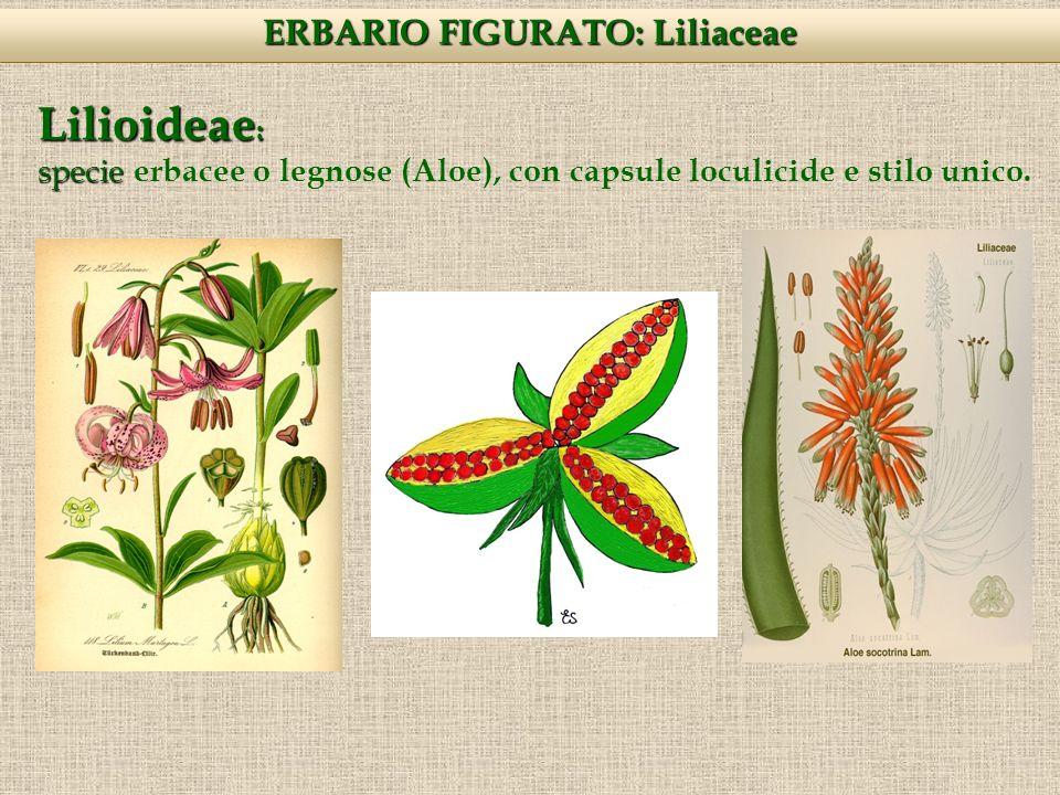 Lilioideae : specie specie erbacee o legnose (Aloe), con capsule loculicide e stilo unico.