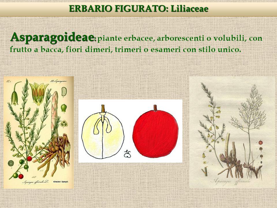 Asparagoideae : Asparagoideae : piante erbacee, arborescenti o volubili, con frutto a bacca, fiori dimeri, trimeri o esameri con stilo unico.