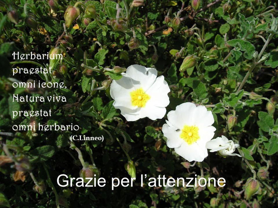 Grazie per lattenzione Herbarium praestat omni icone, Natura viva praestat omni herbario (C.Linneo)