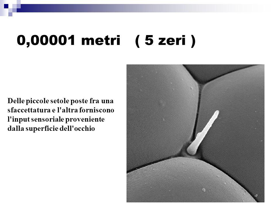 0,00001 metri ( 5 zeri ) Delle piccole setole poste fra una sfaccettatura e l altra forniscono l input sensoriale proveniente dalla superficie dell occhio