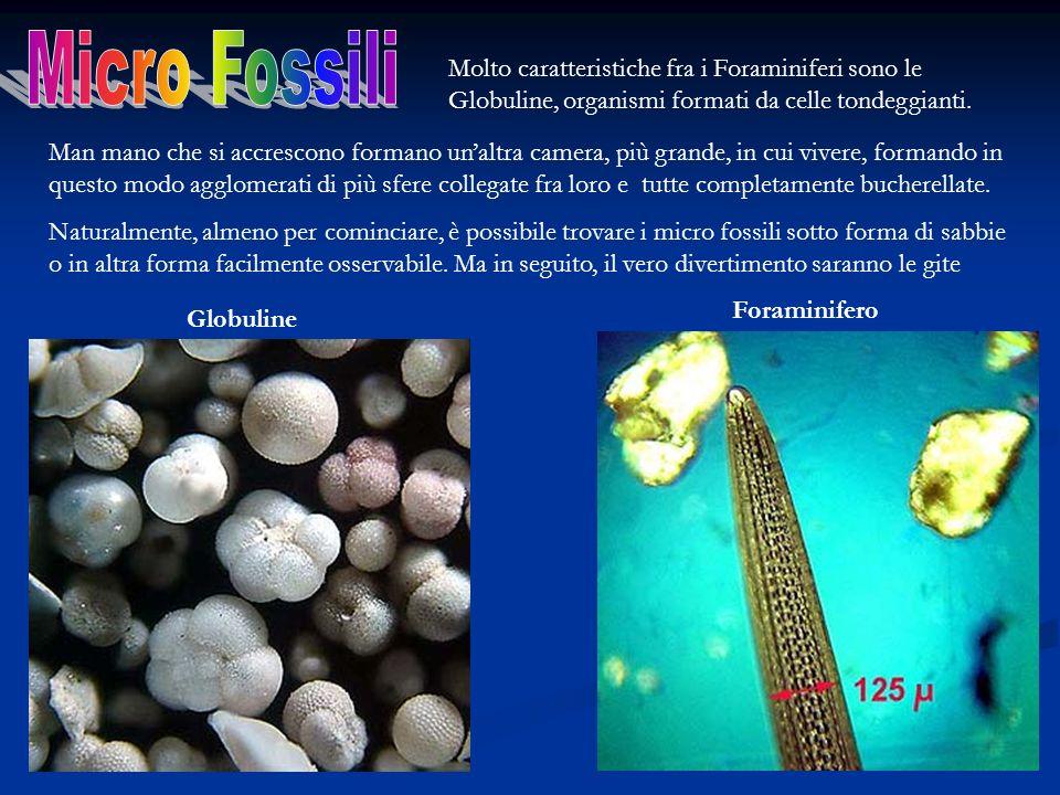 Molto caratteristiche fra i Foraminiferi sono le Globuline, organismi formati da celle tondeggianti. Man mano che si accrescono formano unaltra camera