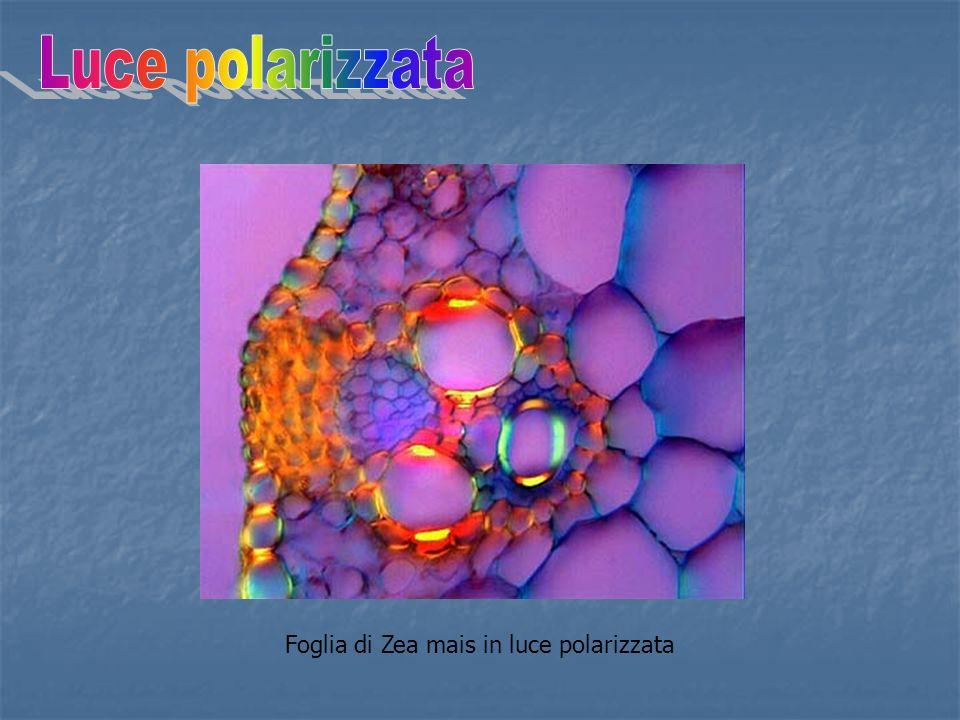 Foglia di Zea mais in luce polarizzata