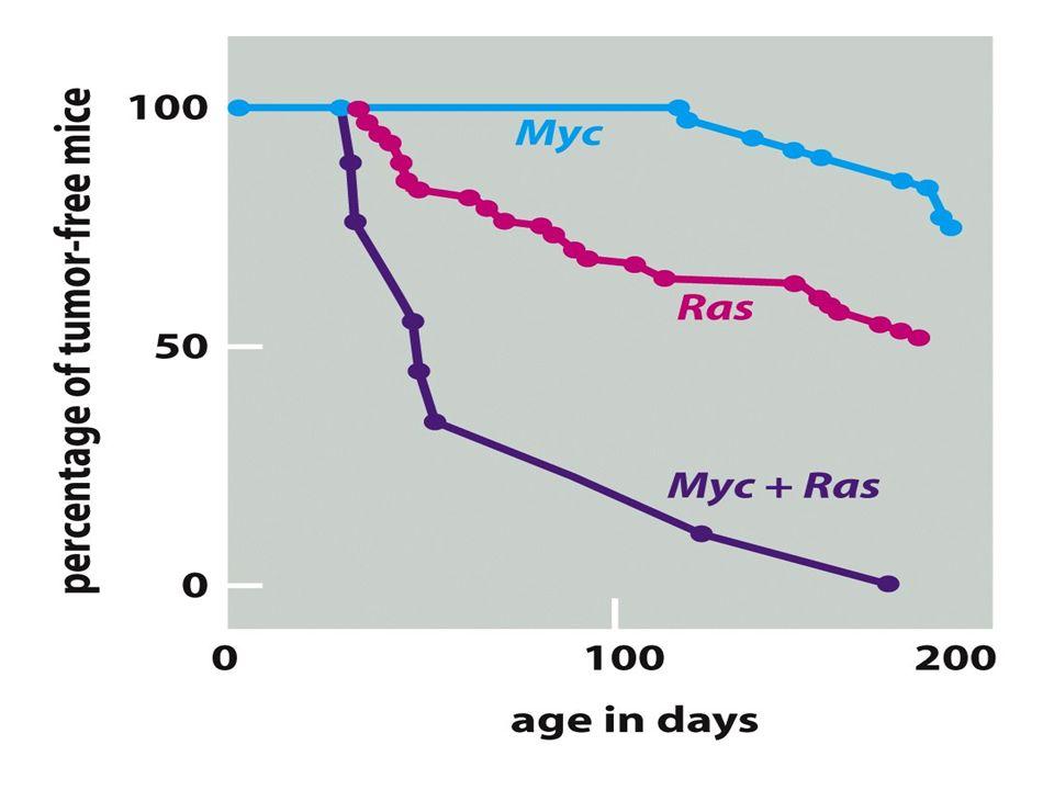 Molti geni critici per il cancro regolano la proliferazione cellulare.