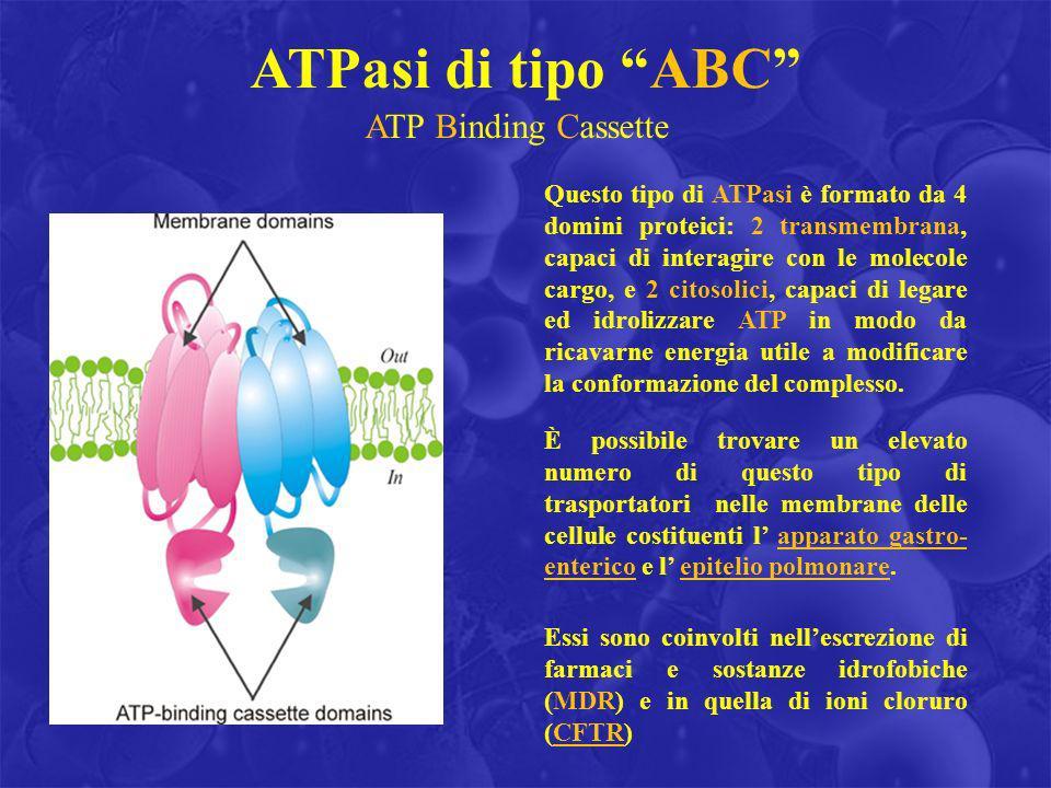 ATP Binding Cassette Questo tipo di ATPasi è formato da 4 domini proteici: 2 transmembrana, capaci di interagire con le molecole cargo, e 2 citosolici