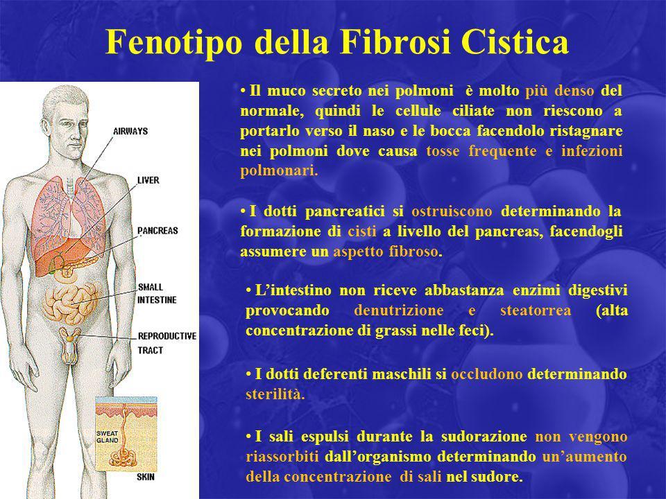 Fenotipo della Fibrosi Cistica Il muco secreto nei polmoni è molto più denso del normale, quindi le cellule ciliate non riescono a portarlo verso il n