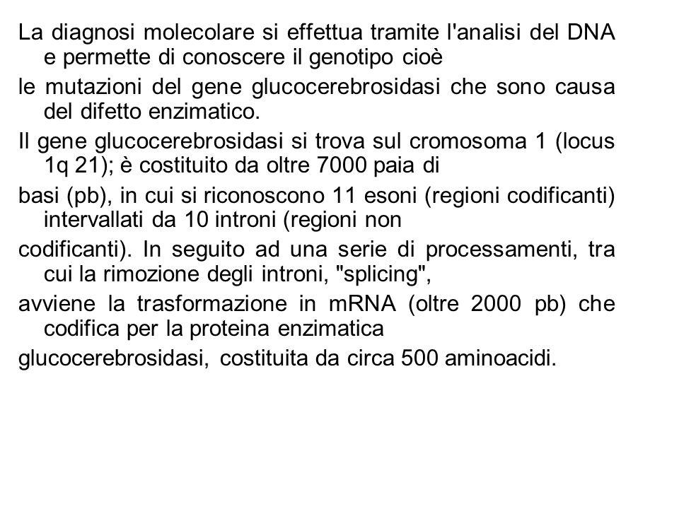 La diagnosi molecolare si effettua tramite l analisi del DNA e permette di conoscere il genotipo cioè le mutazioni del gene glucocerebrosidasi che sono causa del difetto enzimatico.