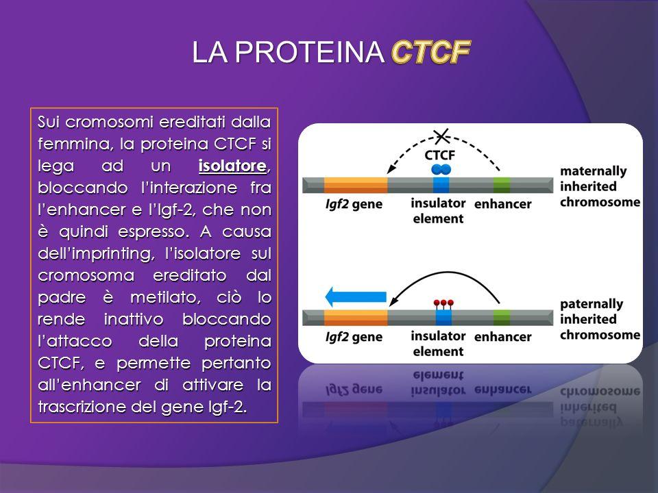 Sui cromosomi ereditati dalla femmina, la proteina CTCF si lega ad un isolatore, bloccando linterazione fra lenhancer e lIgf-2, che non è quindi espre