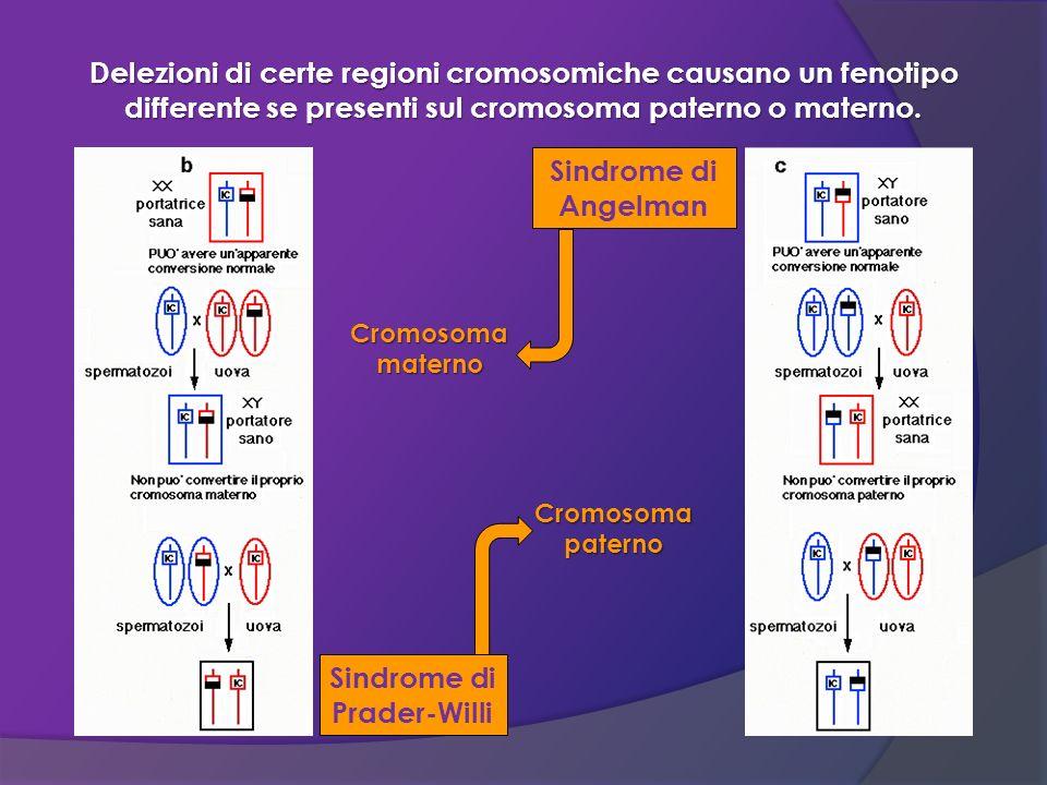 Delezioni di certe regioni cromosomiche causano un fenotipo differente se presenti sul cromosoma paterno o materno. Sindrome di Prader-Willi Sindrome