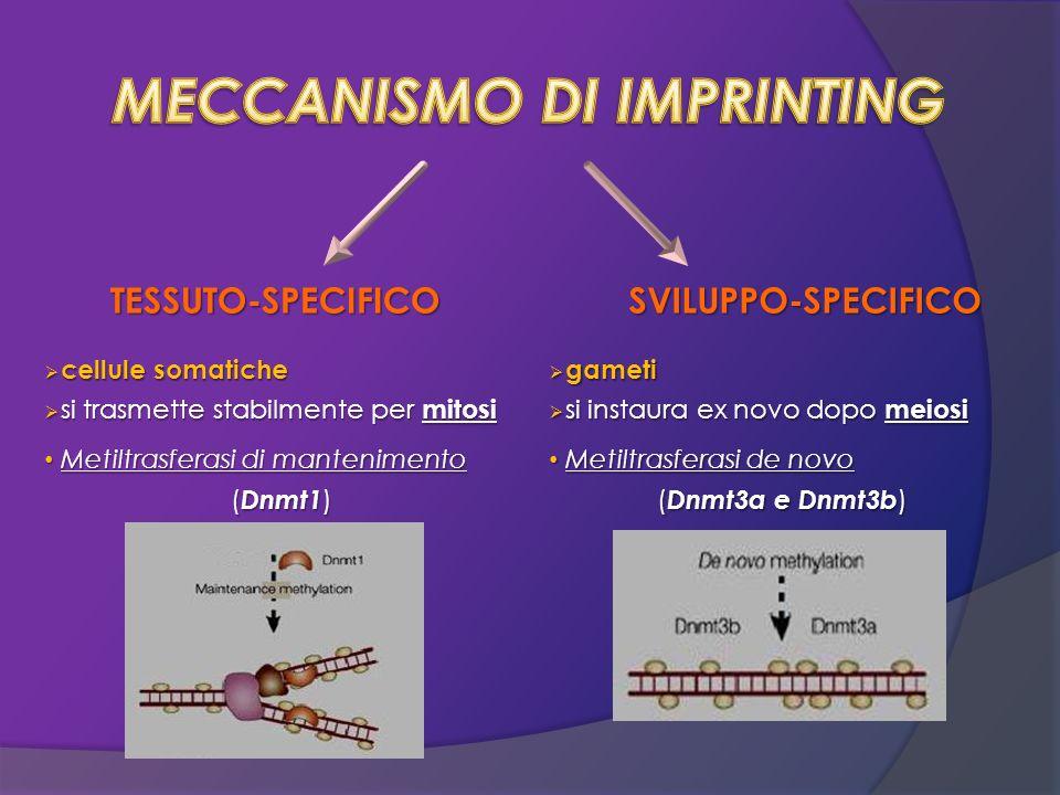 TESSUTO-SPECIFICO cellule somatiche cellule somatiche si trasmette stabilmente per mitosi si trasmette stabilmente per mitosi Metiltrasferasi di mante