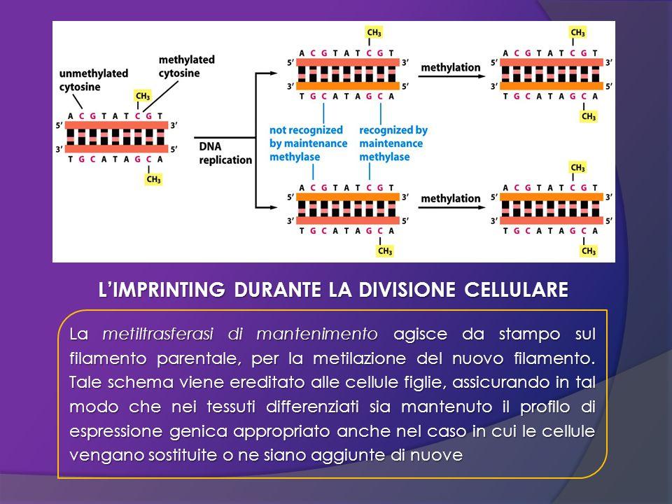 La metiltrasferasi di mantenimento agisce da stampo sul filamento parentale, per la metilazione del nuovo filamento. Tale schema viene ereditato alle