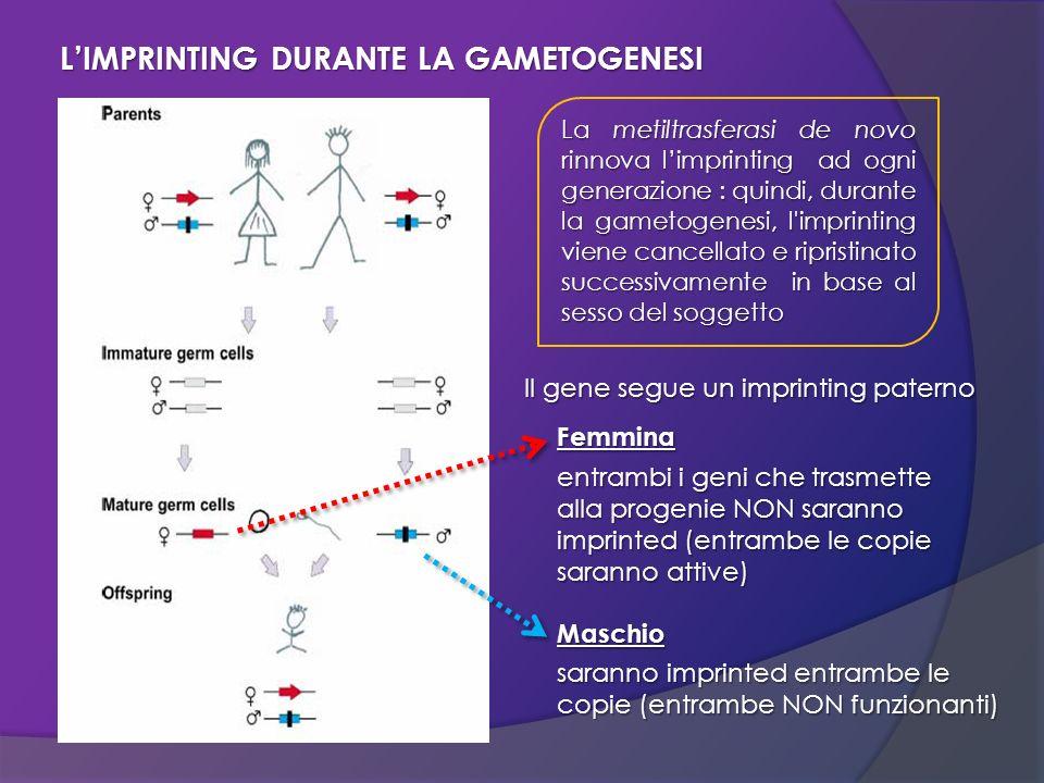 La metiltrasferasi de novo rinnova limprinting ad ogni generazione : quindi, durante la gametogenesi, l'imprinting viene cancellato e ripristinato suc