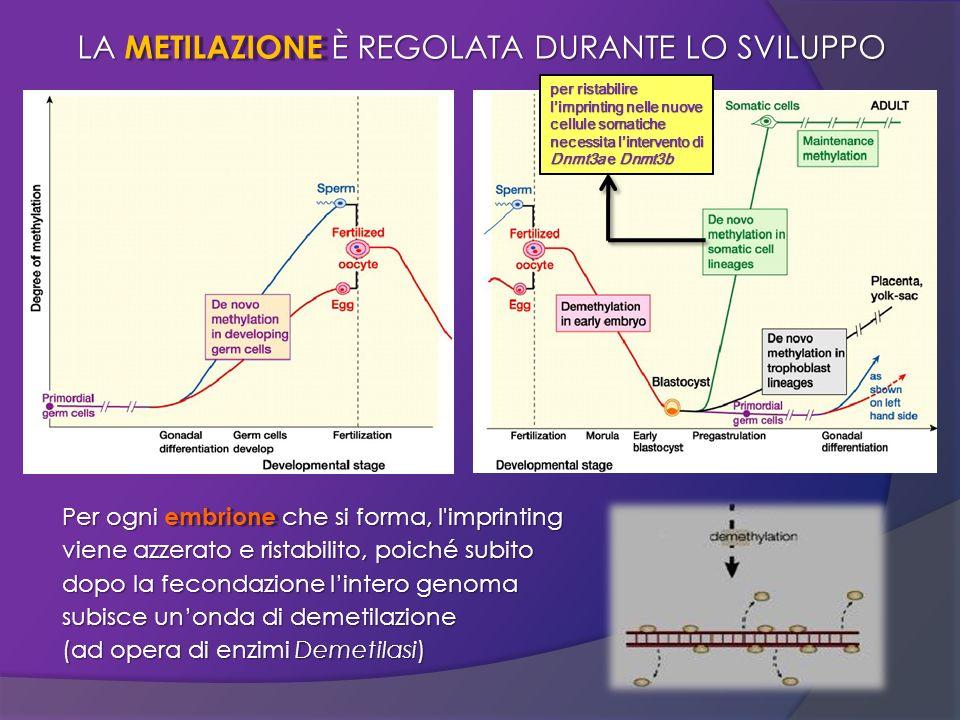 LA METILAZIONE È REGOLATA DURANTE LO SVILUPPO Per ogni embrione che si forma, l'imprinting viene azzerato e ristabilito, poiché subito dopo la feconda