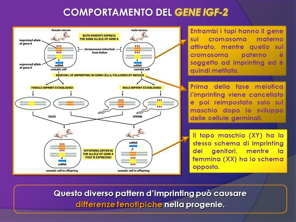 Anche in questo caso la malattia è provocata dalla delezione del segmento del cromosoma 15, ma MATERNO.