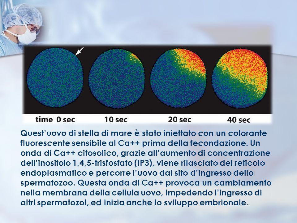 Questuovo di stella di mare è stato iniettato con un colorante fluorescente sensibile al Ca++ prima della fecondazione. Un onda di Ca++ citosolico, gr