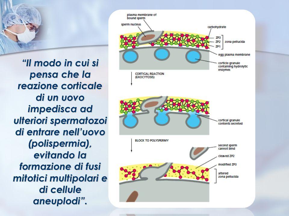 Il modo in cui si pensa che la reazione corticale di un uovo impedisca ad ulteriori spermatozoi di entrare nelluovo (polispermia), evitando la formazi