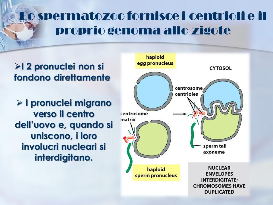 Lo spermatozoo fornisce i centrioli e il proprio genoma allo zigote I 2 pronuclei non si fondono direttamente I 2 pronuclei non si fondono direttament