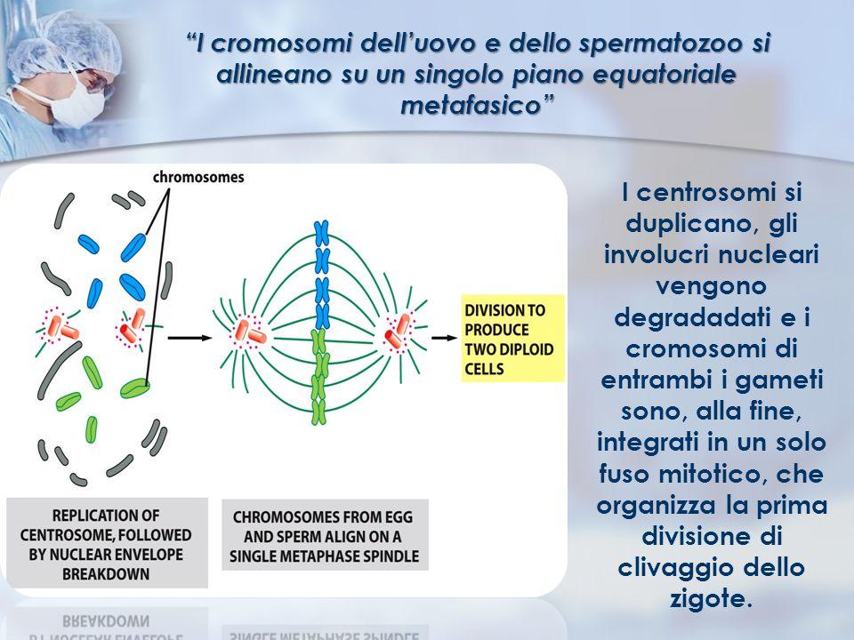 I cromosomi delluovo e dello spermatozoo si allineano su un singolo piano equatoriale metafasico I centrosomi si duplicano, gli involucri nucleari ven