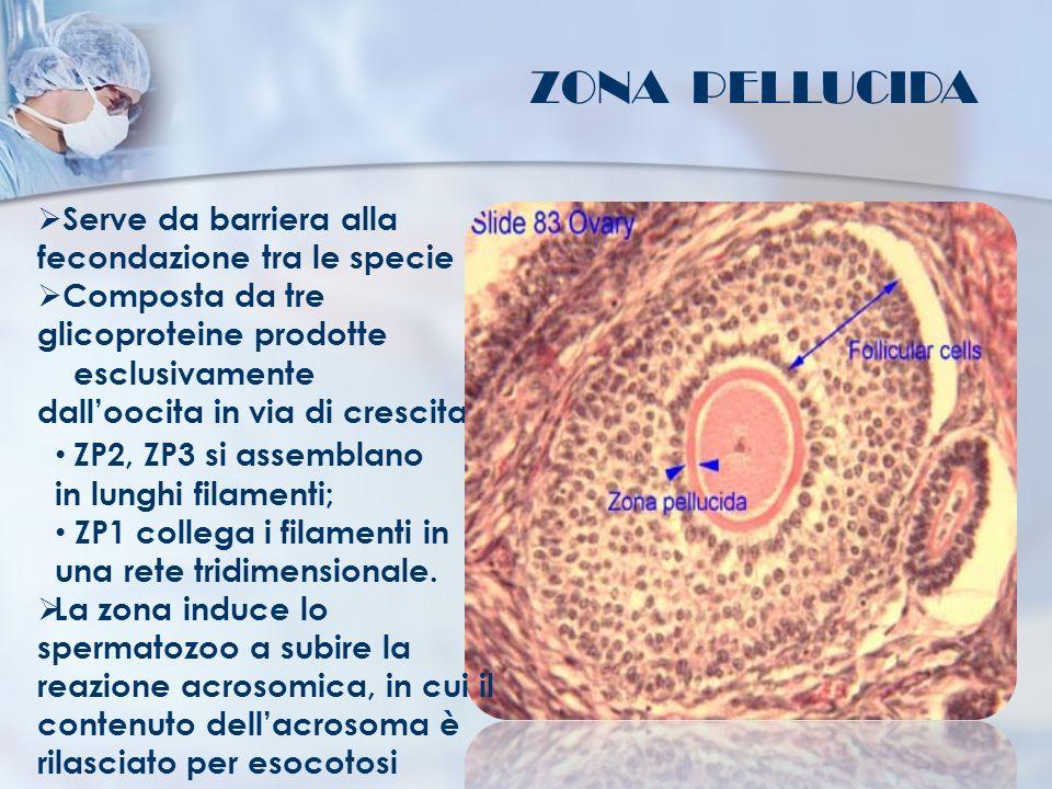 ZONA PELLUCIDA Serve da barriera alla fecondazione tra le specie Composta da tre glicoproteine prodotte esclusivamente dalloocita in via di crescita: