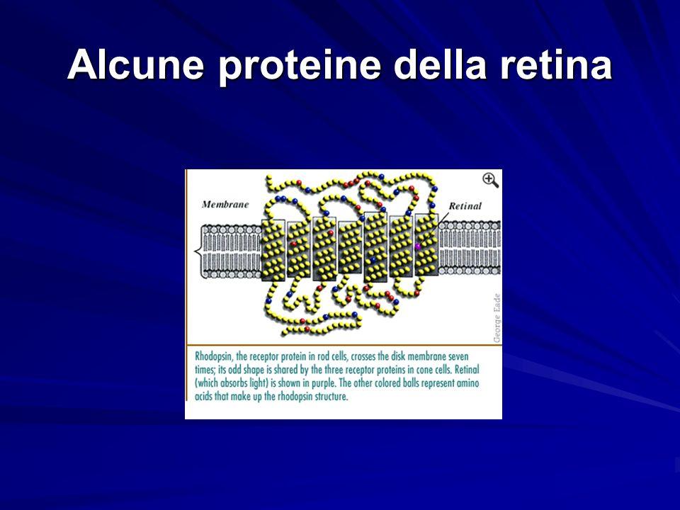 Alcune proteine della retina