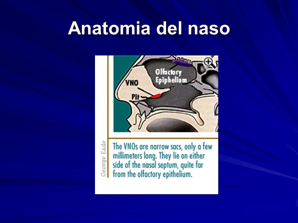 Anatomia del naso
