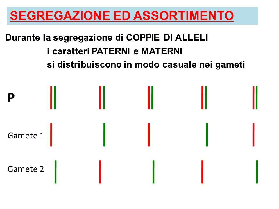 SEGREGAZIONE ED ASSORTIMENTO Durante la segregazione di COPPIE DI ALLELI i caratteri PATERNI e MATERNI si distribuiscono in modo casuale nei gameti UN