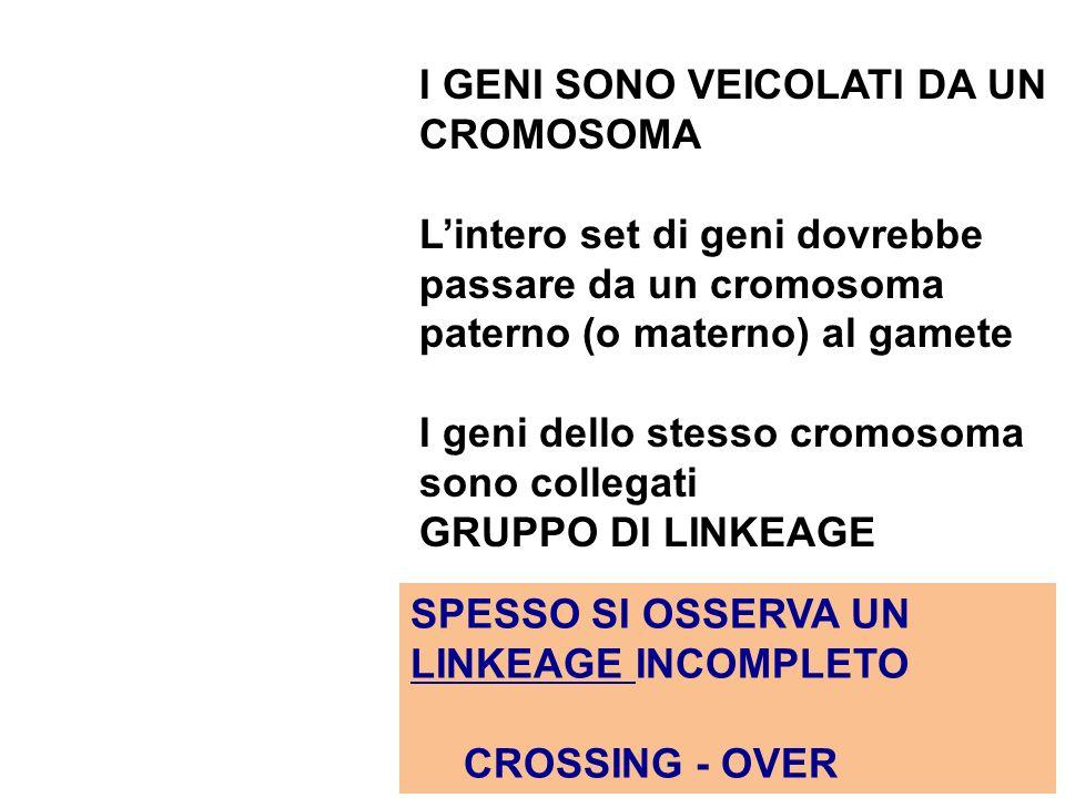 I GENI SONO VEICOLATI DA UN CROMOSOMA Lintero set di geni dovrebbe passare da un cromosoma paterno (o materno) al gamete I geni dello stesso cromosoma