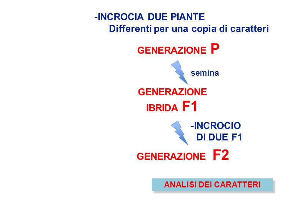 -INCROCIA DUE PIANTE Differenti per una copia di caratteri GENERAZIONE IBRIDA F1 semina -INCROCIO DI DUE F1 GENERAZIONE F2 GENERAZIONE P ANALISI DEI C