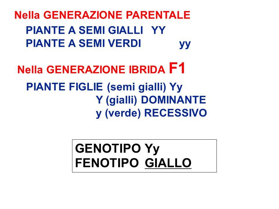 PIANTE FIGLIE (semi gialli) Yy Y (gialli) DOMINANTE y (verde) RECESSIVO Nella GENERAZIONE IBRIDA F1 GENOTIPO Yy FENOTIPO GIALLO Nella GENERAZIONE PARE