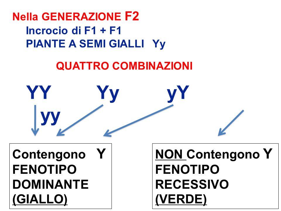 YYYyyY yy QUATTRO COMBINAZIONI Nella GENERAZIONE F2 Incrocio di F1 + F1 PIANTE A SEMI GIALLI Yy Contengono Y FENOTIPO DOMINANTE (GIALLO) NON Contengon