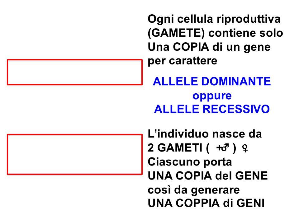 Ogni cellula riproduttiva (GAMETE) contiene solo Una COPIA di un gene per carattere ALLELE DOMINANTE oppure ALLELE RECESSIVO Lindividuo nasce da 2 GAM