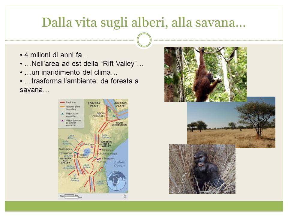 Dalla vita sugli alberi, alla savana… 4 milioni di anni fa… …Nellarea ad est della Rift Valley… …un inaridimento del clima… …trasforma lambiente: da f