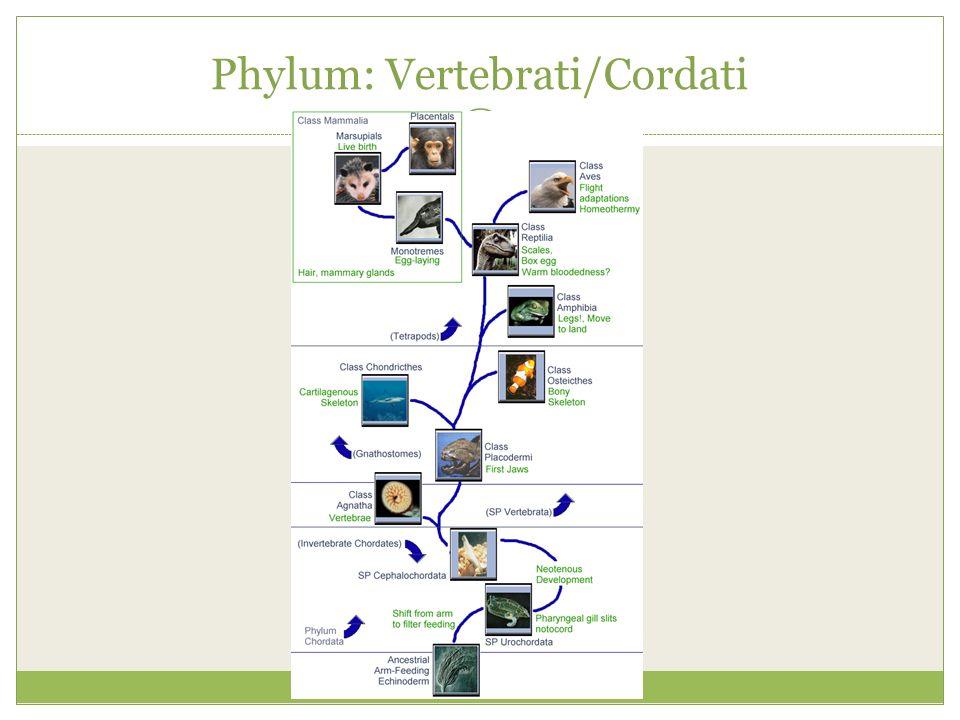 Phylum: Vertebrati/Cordati