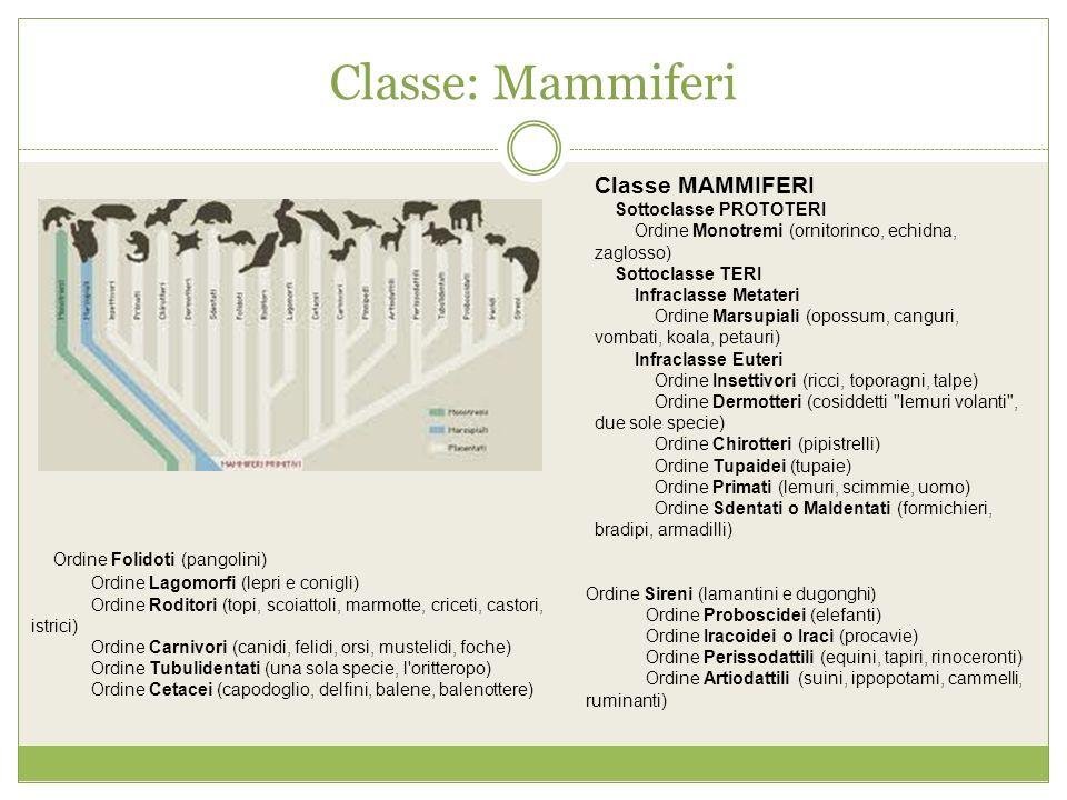 Classe: Mammiferi Classe MAMMIFERI Sottoclasse PROTOTERI Ordine Monotremi (ornitorinco, echidna, zaglosso) Sottoclasse TERI Infraclasse Metateri Ordin