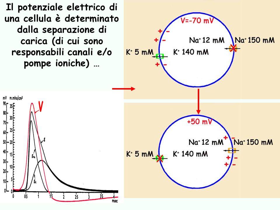 Il potenziale elettrico di una cellula è determinato dalla separazione di carica (di cui sono responsabili canali e/o pompe ioniche) …