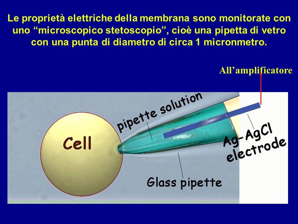 Le proprietà elettriche della membrana sono monitorate con uno microscopico stetoscopio, cioè una pipetta di vetro con una punta di diametro di circa