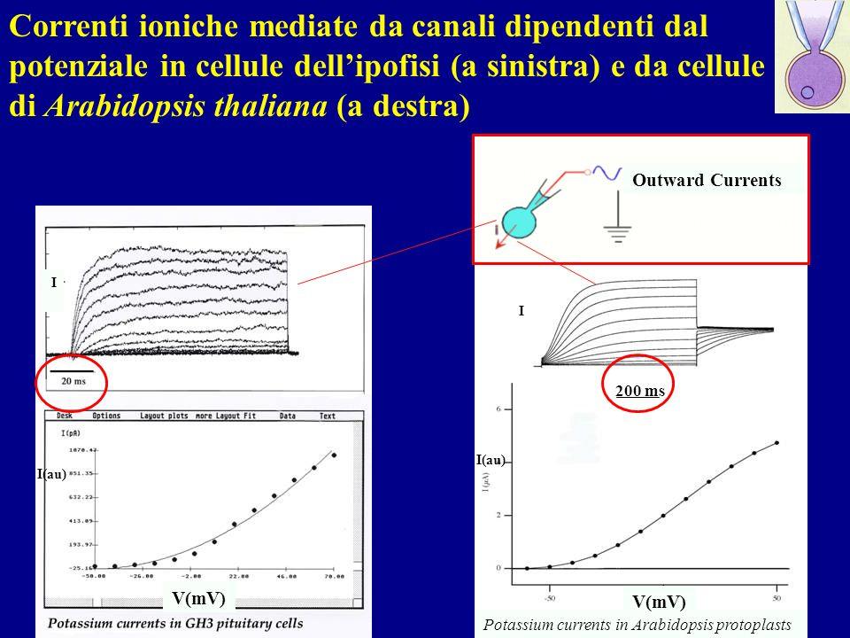 Correnti ioniche mediate da canali dipendenti dal potenziale in cellule dellipofisi (a sinistra) e da cellule di Arabidopsis thaliana (a destra) Potas