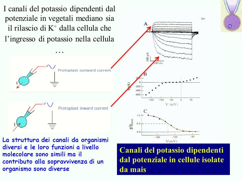 I canali del potassio dipendenti dal potenziale in vegetali mediano sia il rilascio di K + dalla cellula che lingresso di potassio nella cellula … Can
