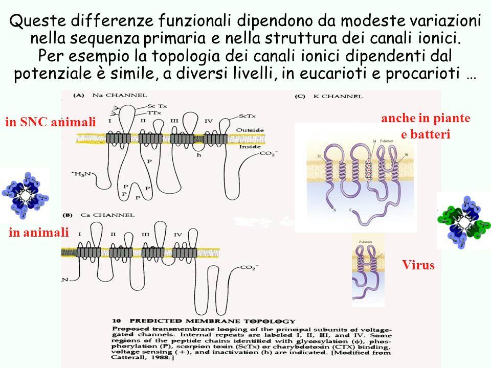 Queste differenze funzionali dipendono da modeste variazioni nella sequenza primaria e nella struttura dei canali ionici. Per esempio la topologia dei