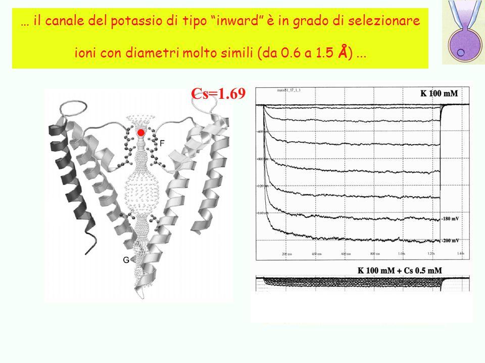 … il canale del potassio di tipo inward è in grado di selezionare ioni con diametri molto simili (da 0.6 a 1.5 Å)... Å 1.33 1.50 0.60 0.95 1.33 Cs=1.6